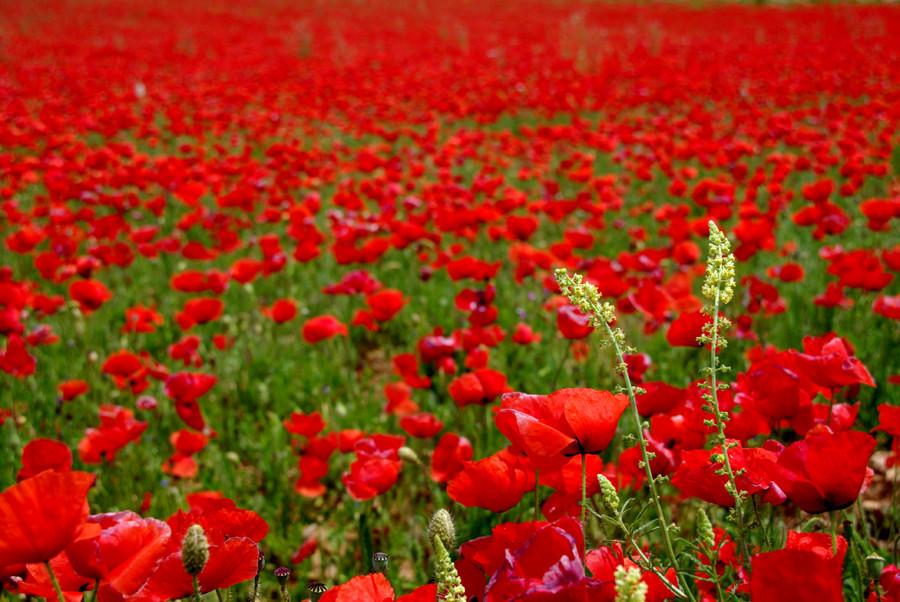 primavera roja