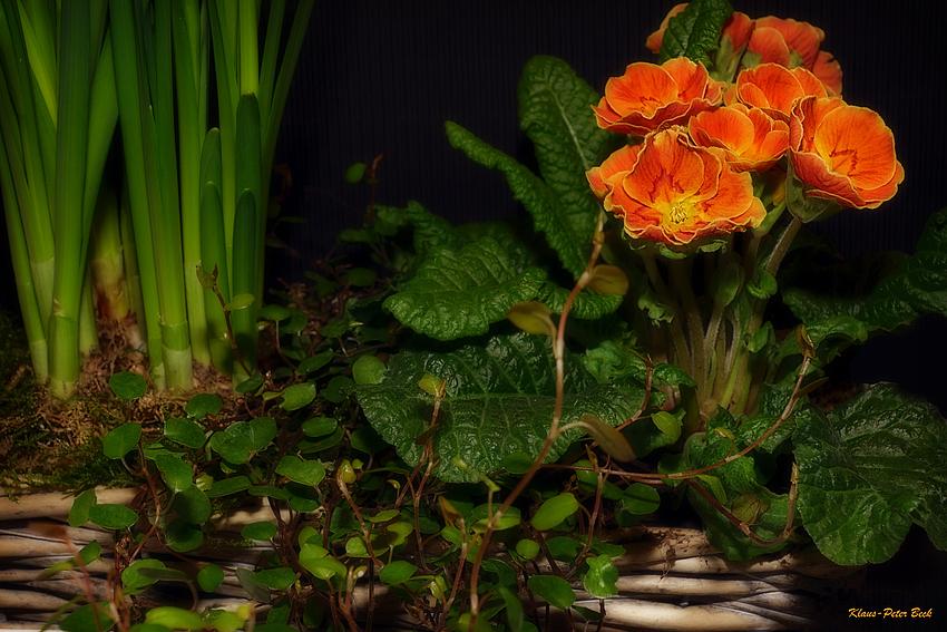 Primel (Primula vulgaris-Hybride)