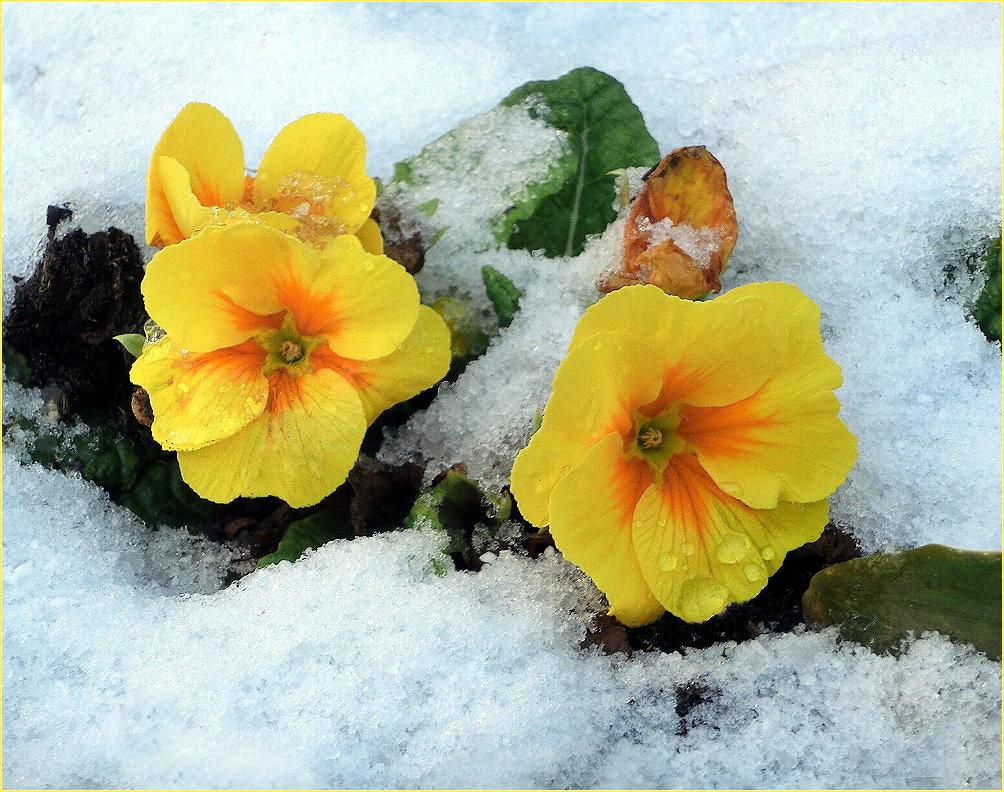 Primeln im Schnee