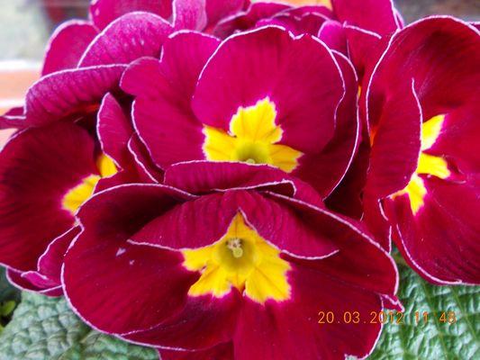 Primevère : première fleur du printemps 2013