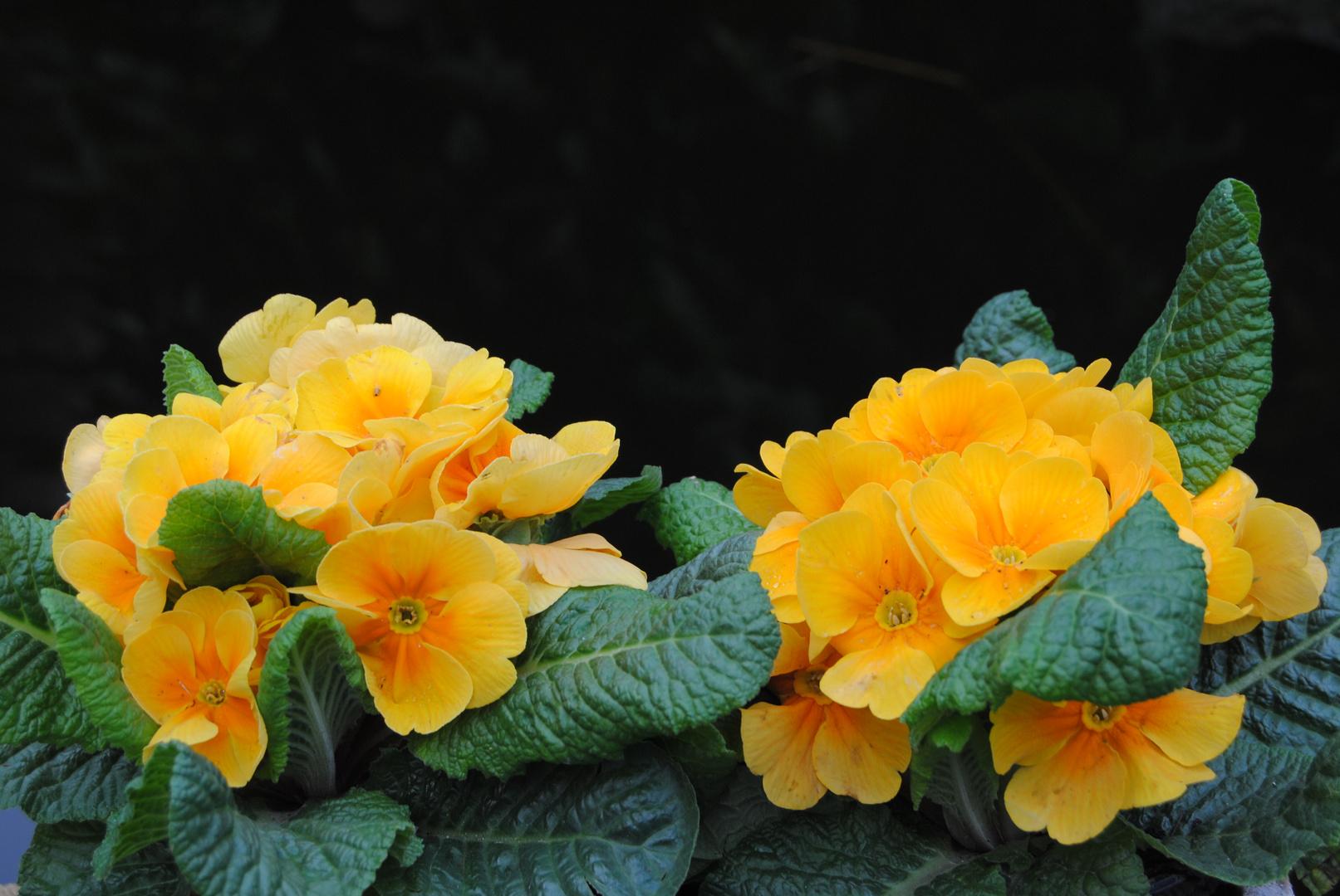 Primevères jaunes