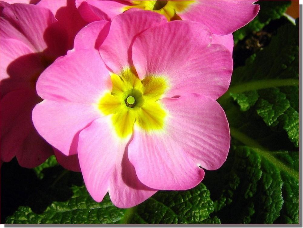 Primula. Il fiore della vita