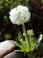 primula in mio giardino alpino