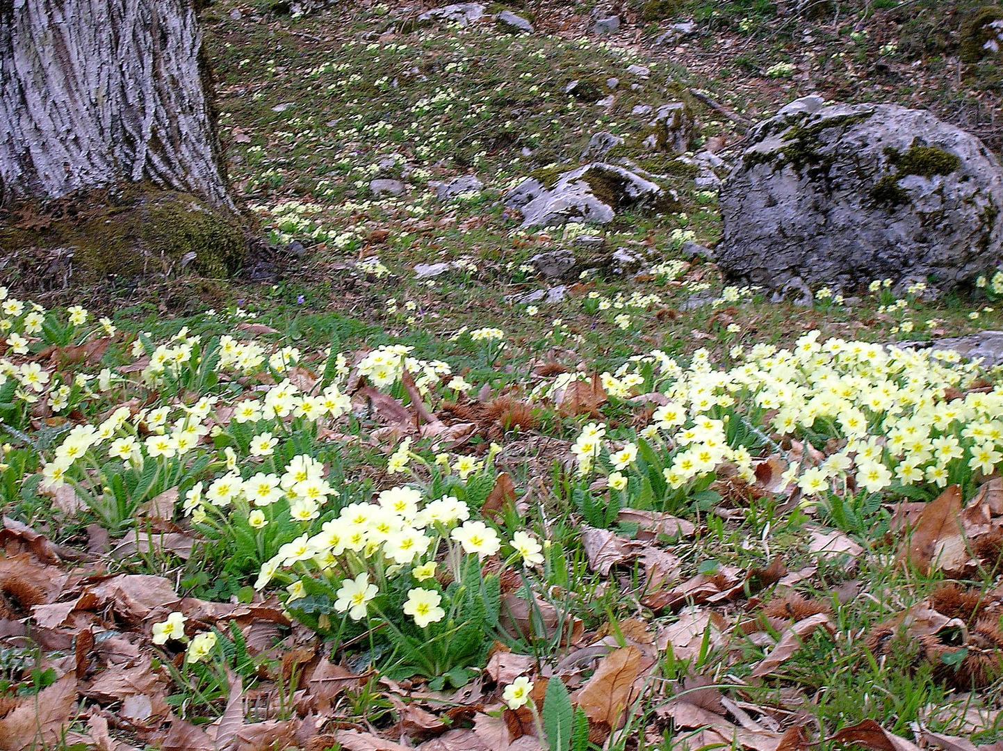 Primule in montagna foto immagini piante fiori e for Primule immagini
