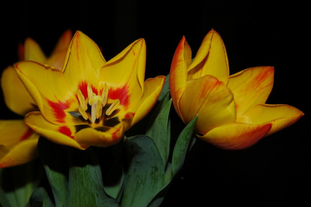 Princess Tulip
