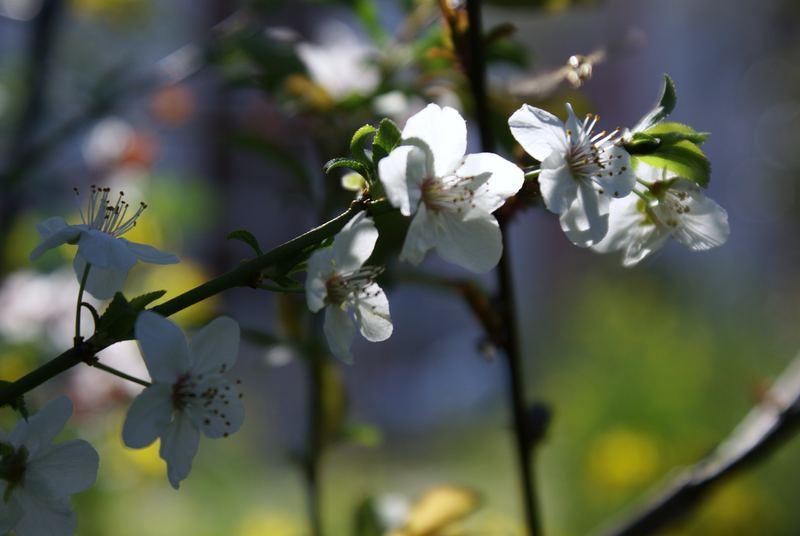 printemps : fleurs de pruniers sauvages