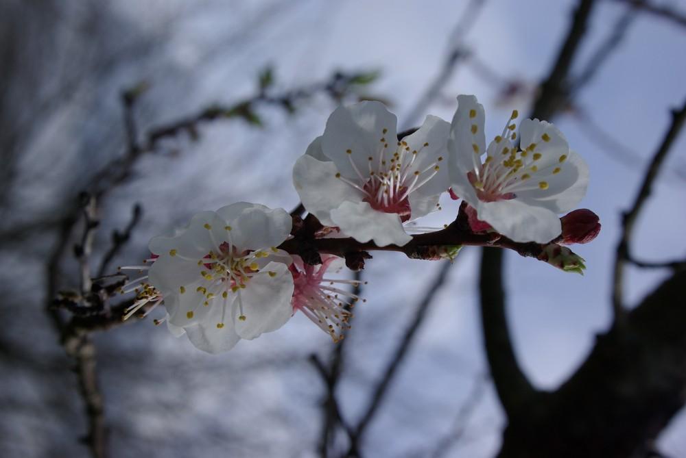 printemps japonais en ariege