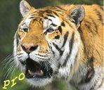 PRO Tiger