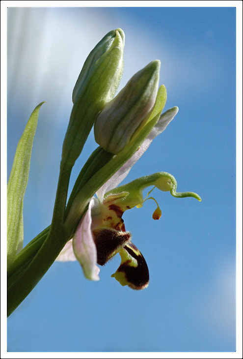 profil Ophrys