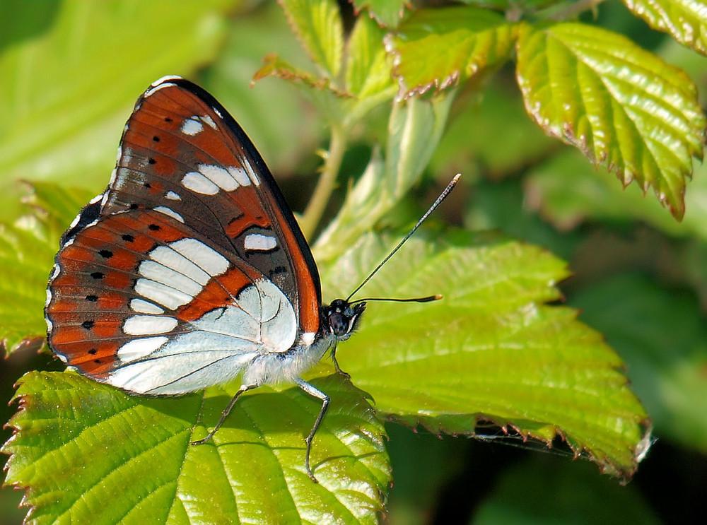 profil papillion
