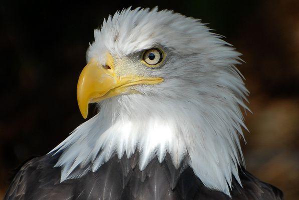 Profil Weißkopfseeadler