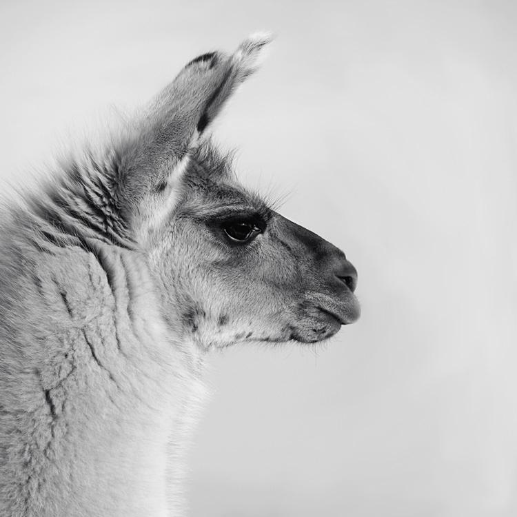 Profilaufnahme Lama