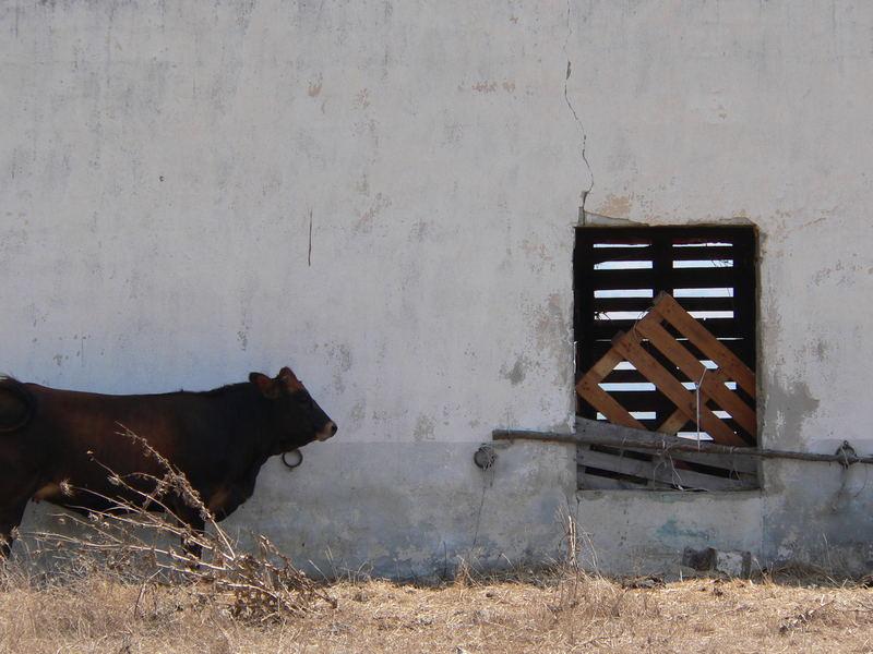 profilo di mucca