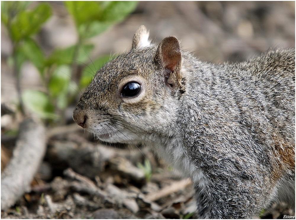Profilo di scoiattolo