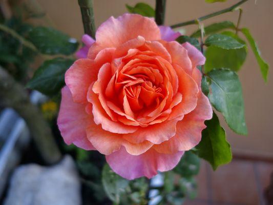 Profumo di rosa