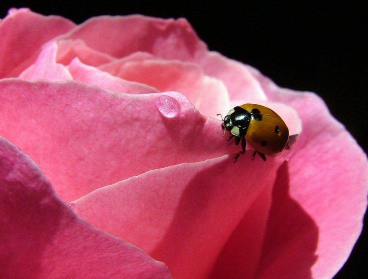 profumo rosa
