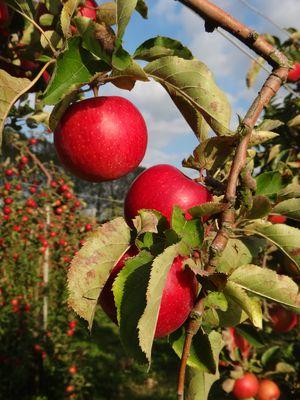 Profusion de pommes