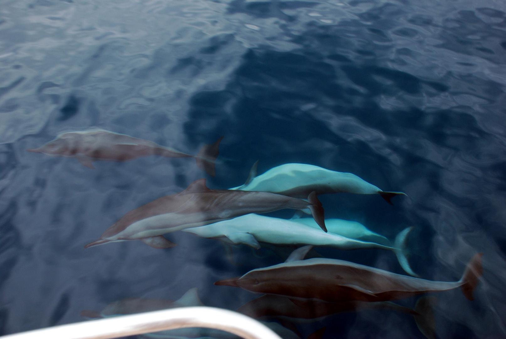 Promenade em mer avec les dauphins