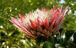 Protea (Ausschnitt)