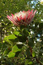 Protea - Blüte