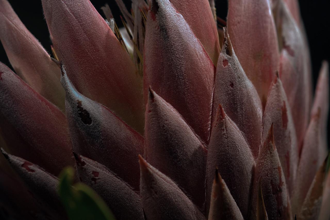 Protea King Seitenansicht Makro