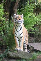 Proud Tiger