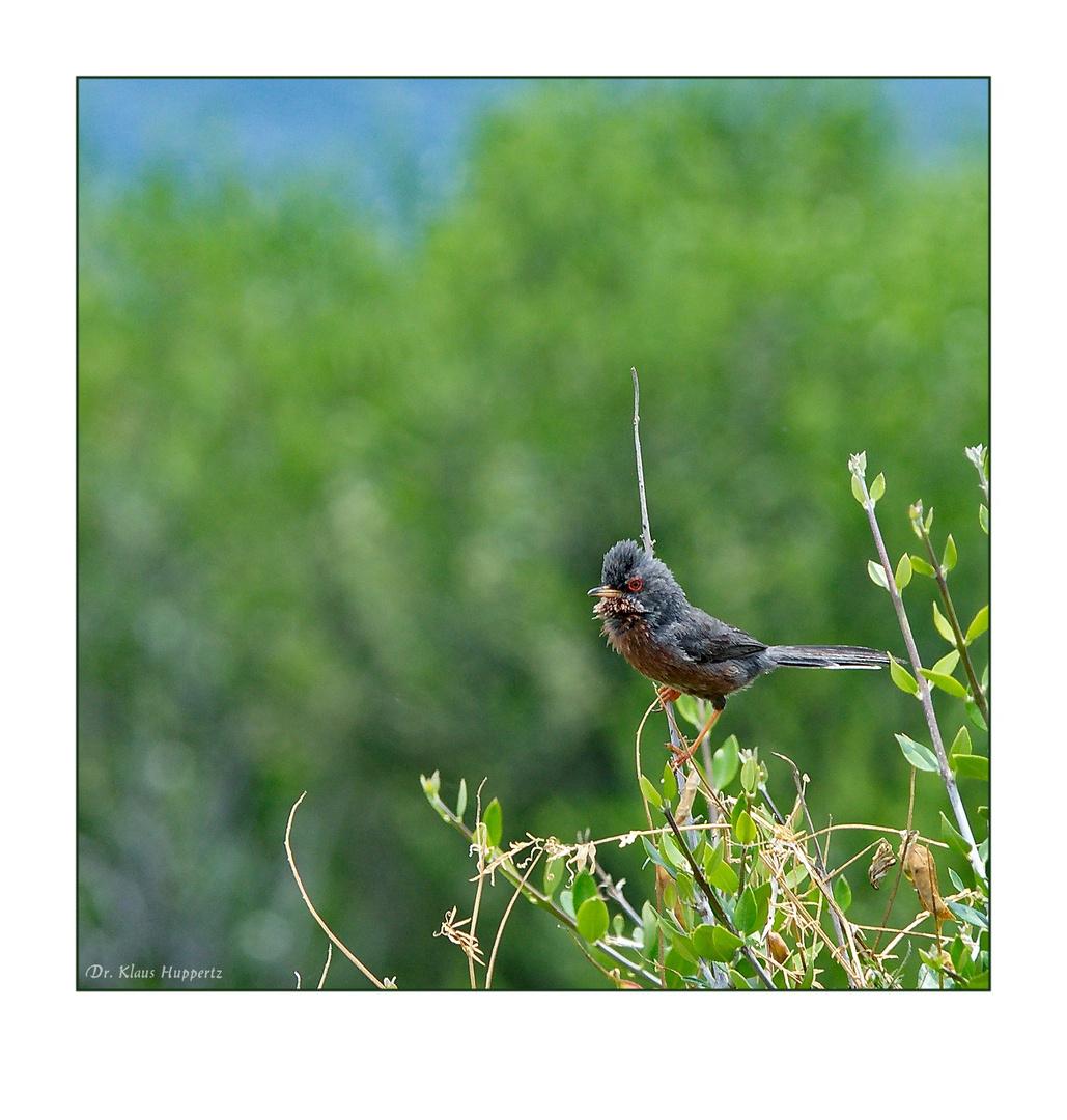 Provence-Grasmücke