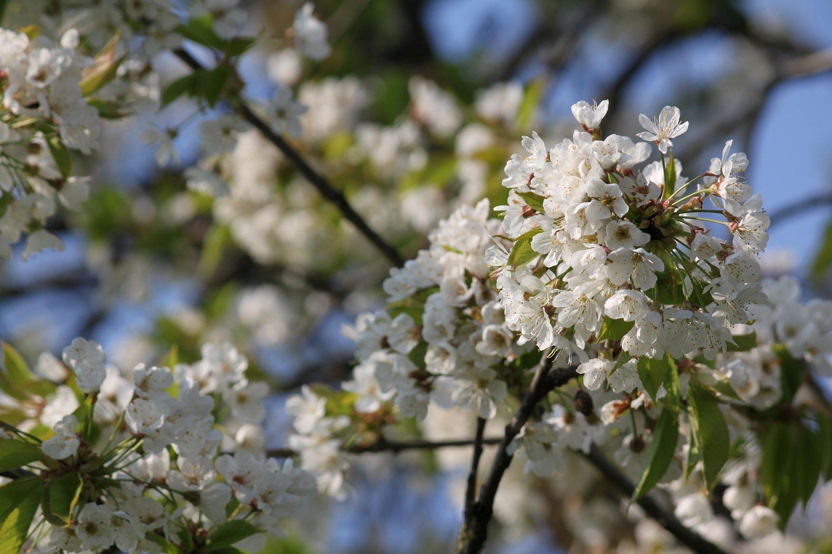 Prunier en fleur