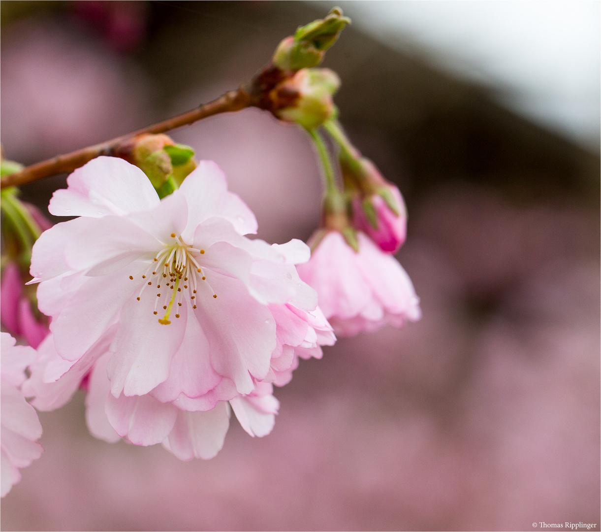 Prunus Accolade (Kulturform)