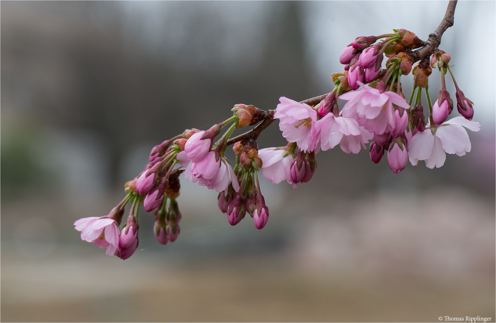 Prunus Accolade (Kulturform).