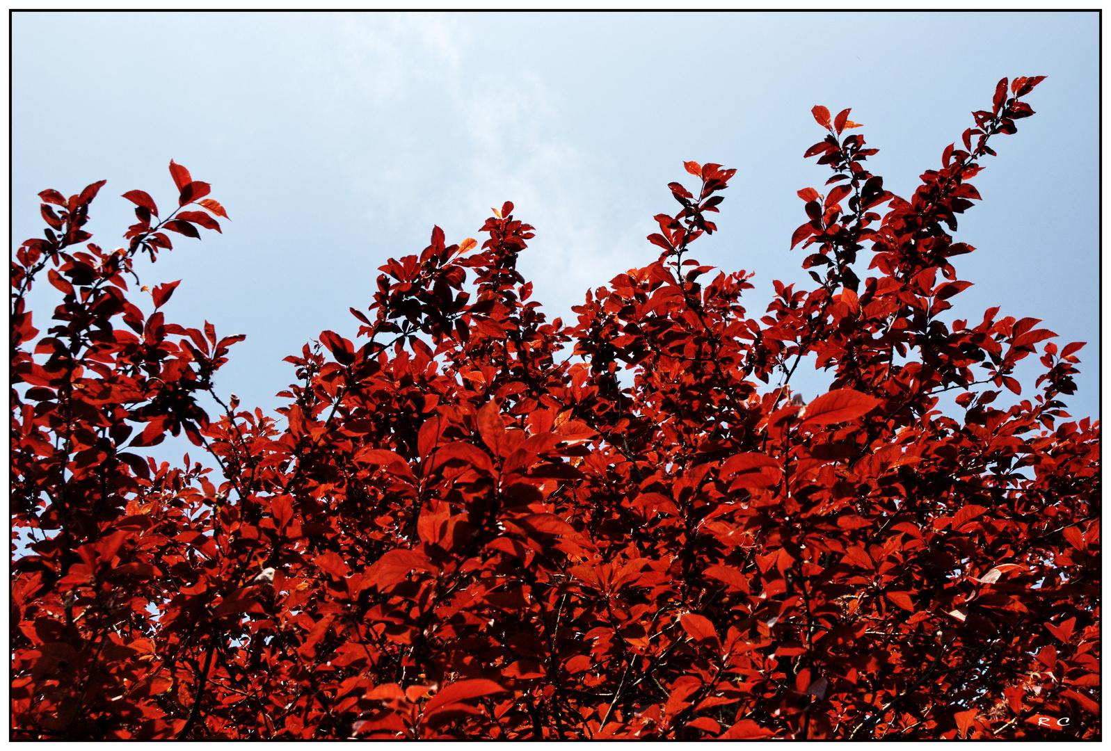 Prunus écarlate