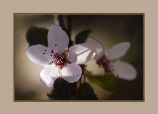 Prunus évanescent