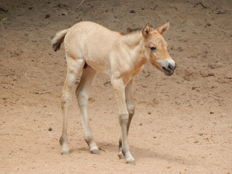 Przewalski Pferd Fohlen