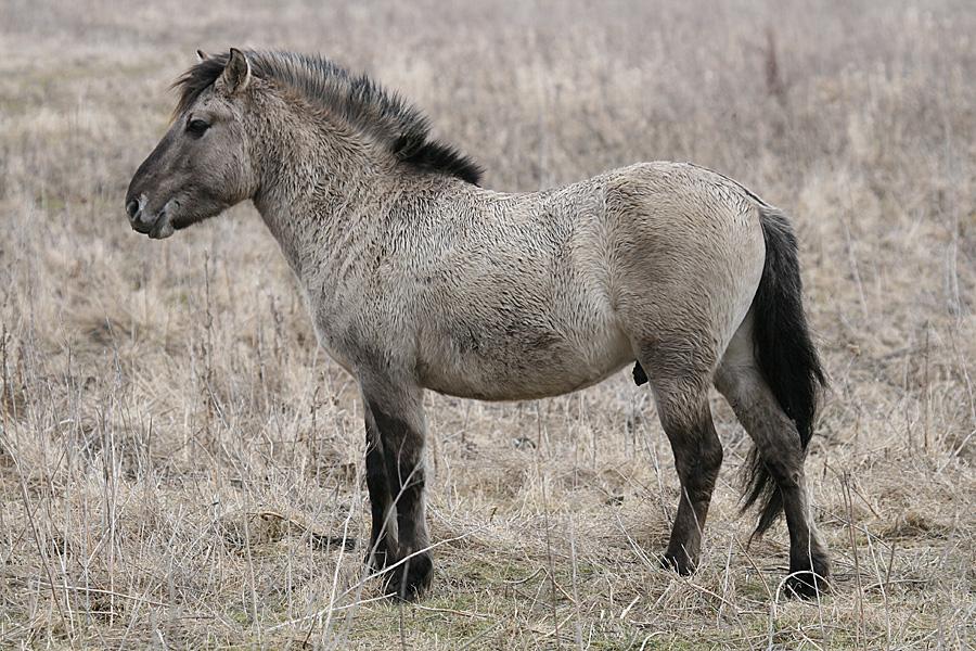 Przewalski Pferde ?
