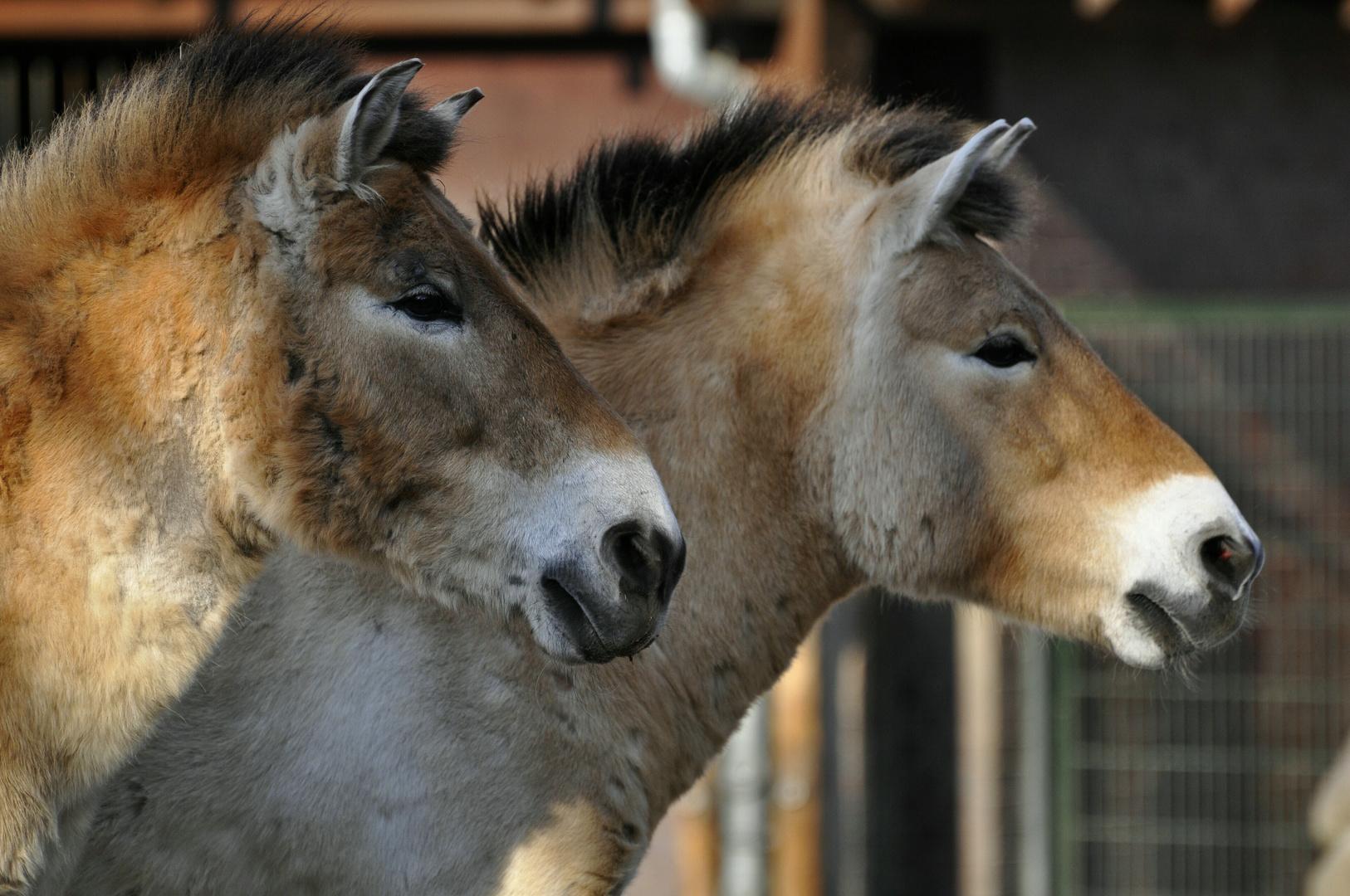 Przewalski-Pferde im Berliner Zoo