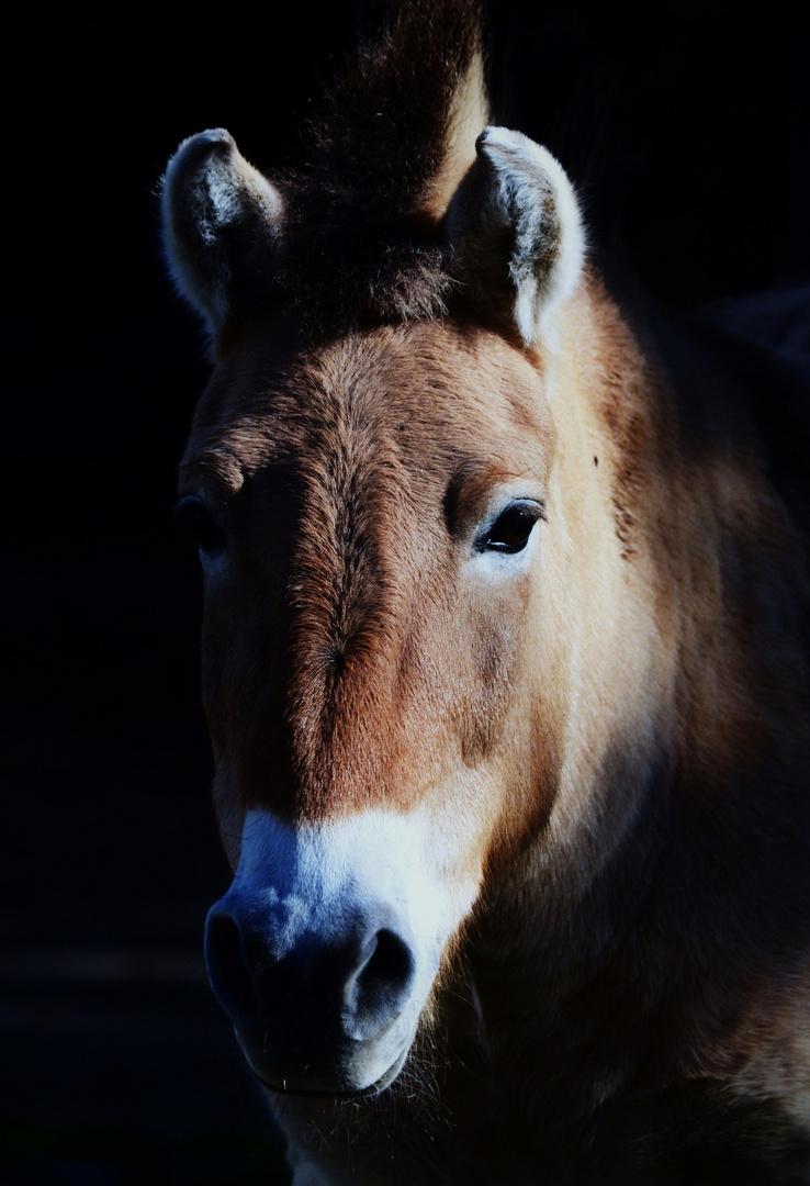 Przewalskii Pferd in abendlichem Licht