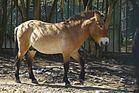 Przewalskipferd (Zoo Neuwied)