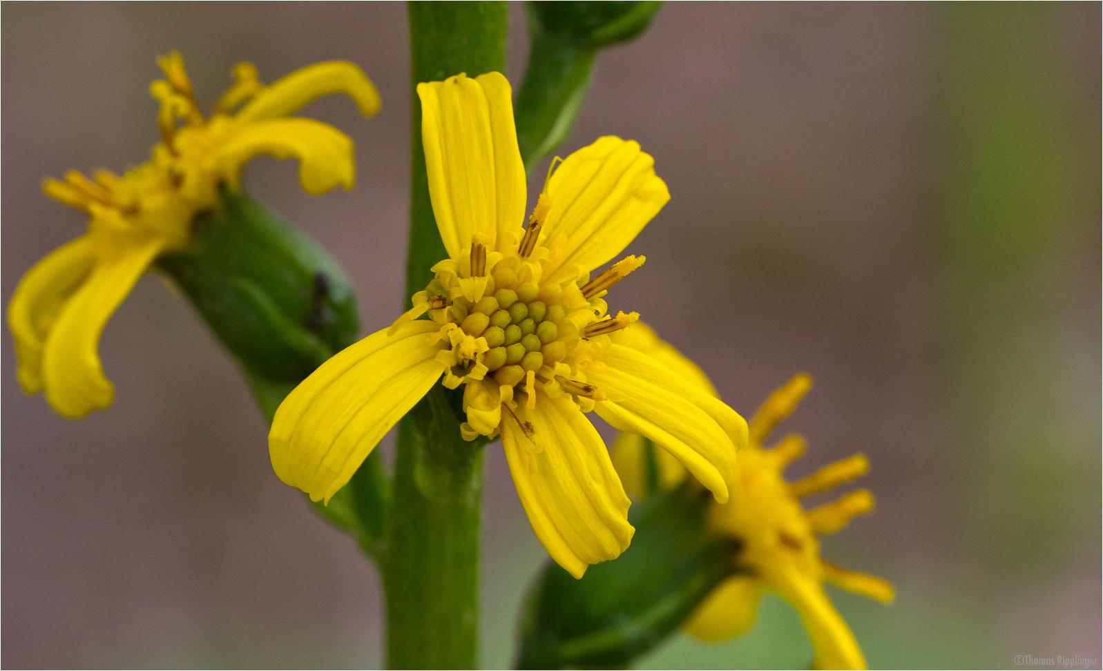 Przewalskis Kreuzkraut (Ligularia-przewalskii)