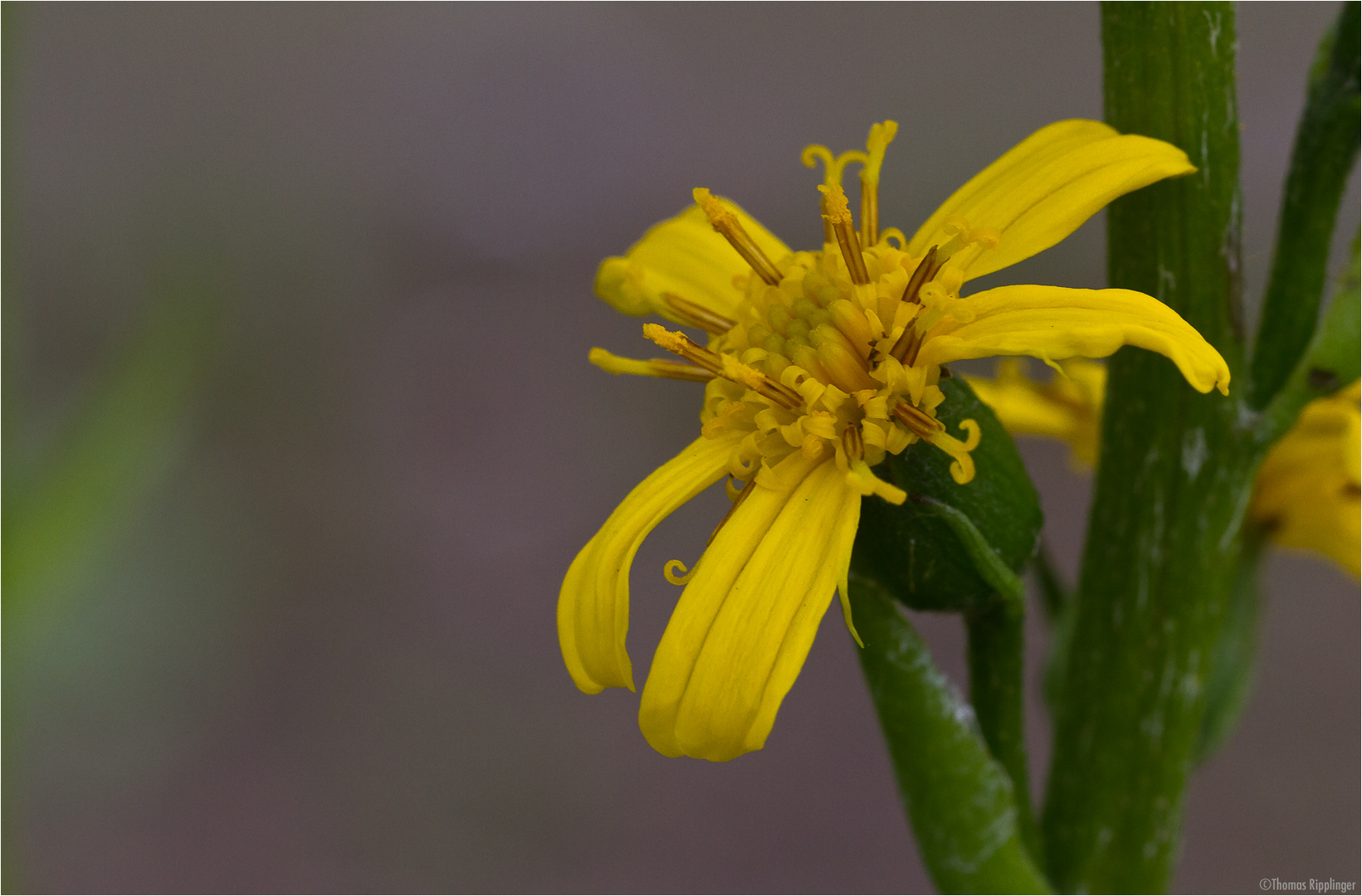 Przewalskis Kreuzkraut (Ligularia-przewalskii).