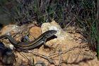 Psammodromus algirus (lagartija colilarga)
