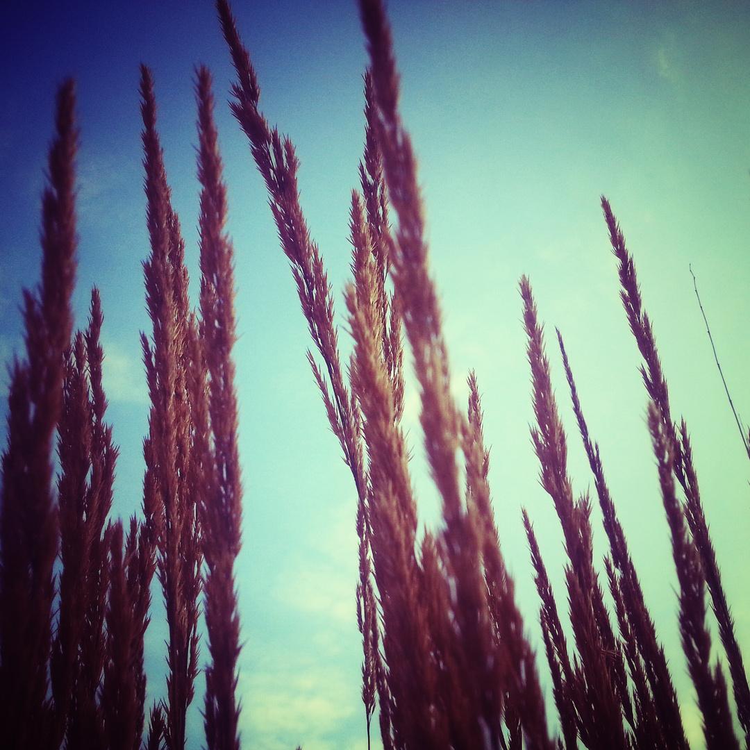 Pseudo-Getreide