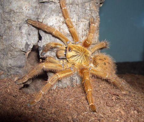 Pterinochilus Mammilatus