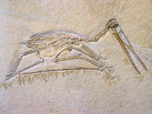 Pterodactylus kochi (Flugsaurier aus dem Jura)