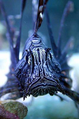 Pterois volitans (Rotfeuerfisch)