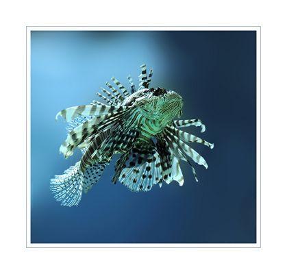 Pterois volitans - Rotfeuerfisch