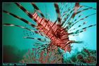 Pteroris volitans - Rotfeuerfisch