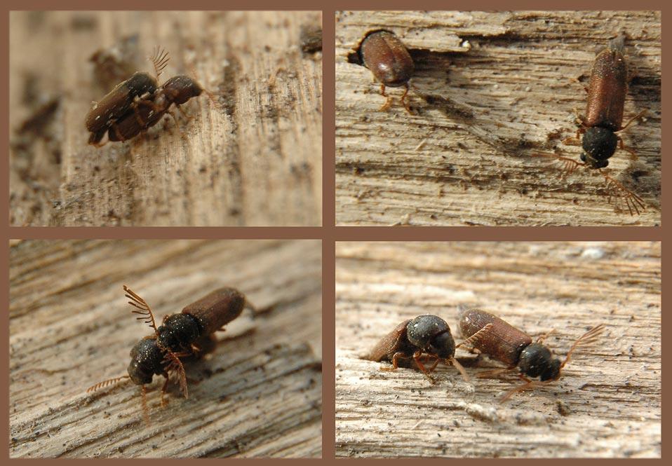 Ptilinus pecticornis, Paarung und Eiablage auf Brennholz