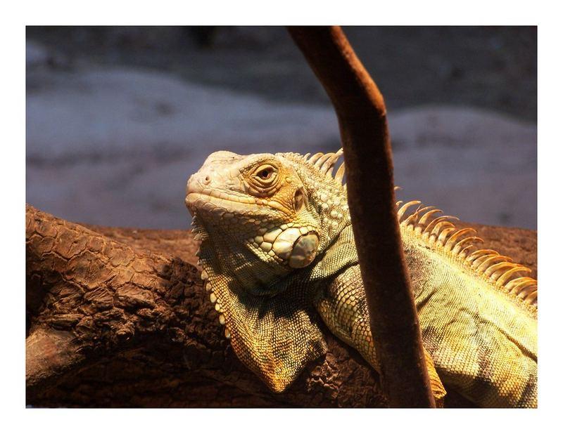 p'tit Iguane deviendra grand ?!