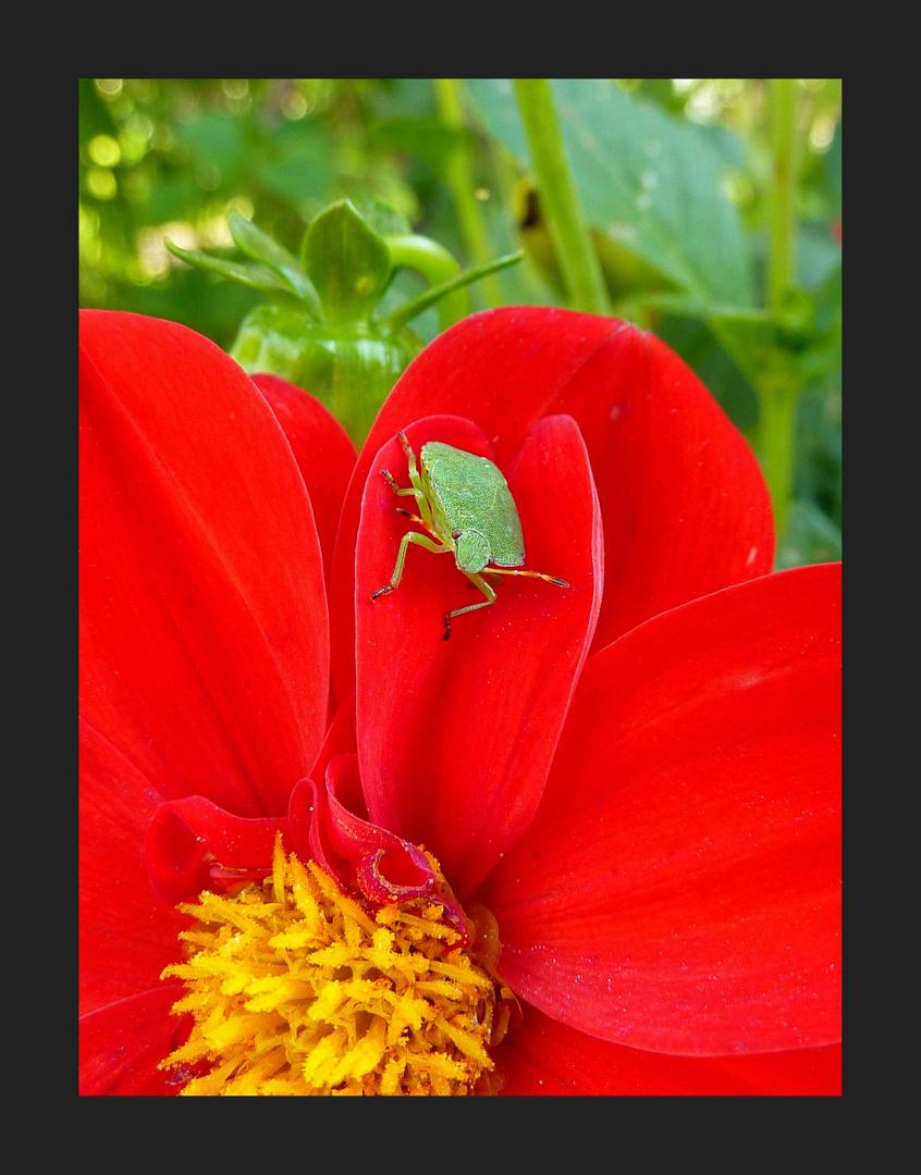 Puce sur fleur