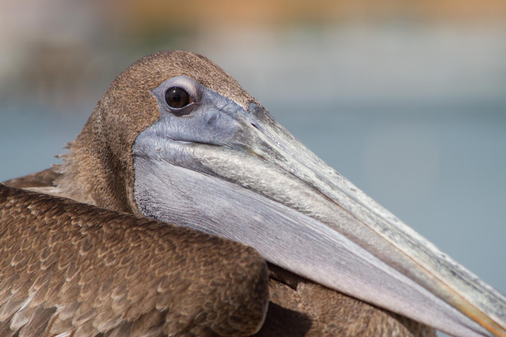 Puerto Rico (1). Brown Pelican